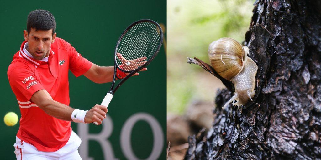 Una nueva especie de caracol que lleva el nombre de… Novak Djokovic