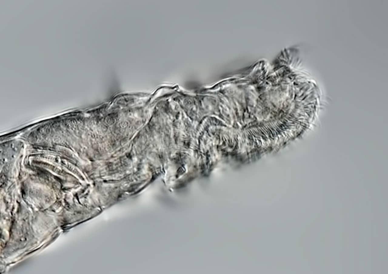 Los rotíferos pueden ser más duros que los tardígrados