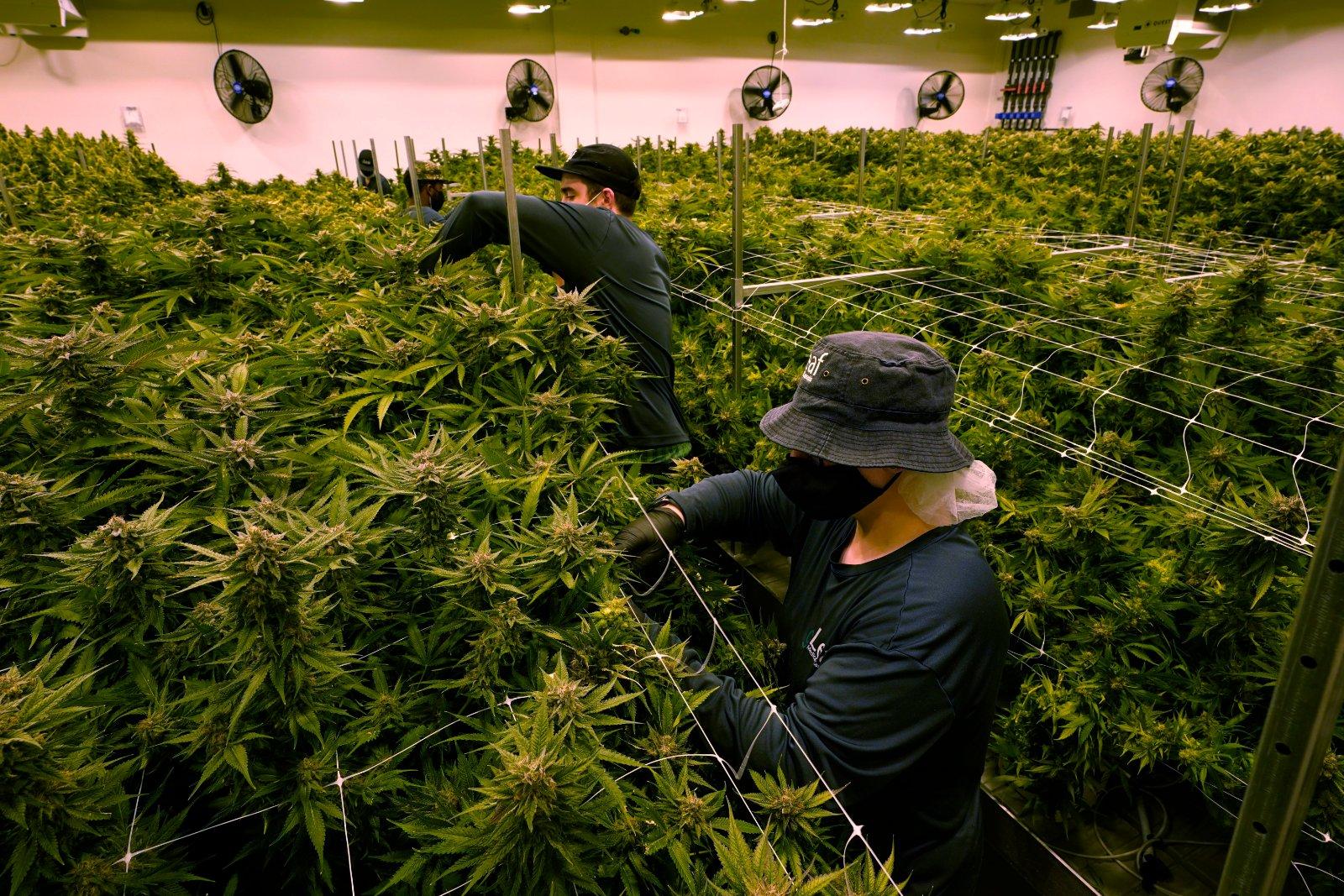 Apple da marcha atrás y permite aplicaciones que venden cannabis en la App Store